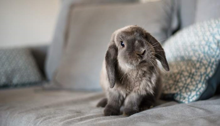 Find out how this cute rabbit can be protected with pet insurance